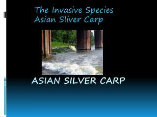 Asian  Silver Carp