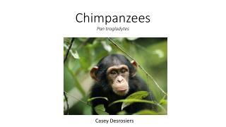 Chimpanzees Pan troglodytes