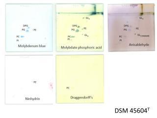 DSM  45604 T