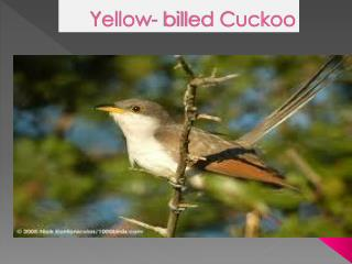 Yellow- billed Cuckoo