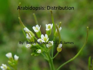 Arabidopsis: Distribution