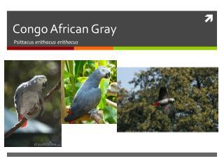 Congo African Gray