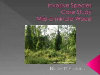 Invasive Species  Case Study  Mile-a-minute-Weed
