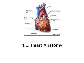 4.1. Heart Anatomy