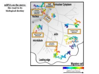 mRNA track lifetime