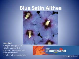 Blue Satin Althea