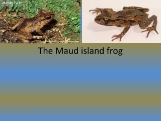 The Maud island frog