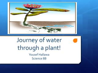 Journey of water through a plant!
