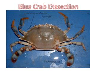 Blue Crab Dissection