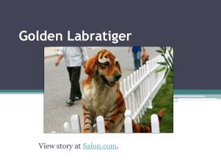 Golden  Labratiger