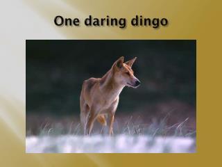 One daring dingo