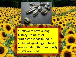 sunflower facts yuling 004