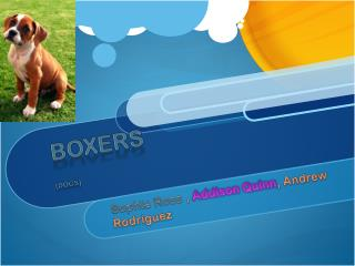 Boxers [DOGS]