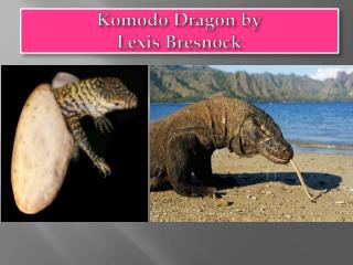 Komodo Dragon by  Lexis  Bresnock