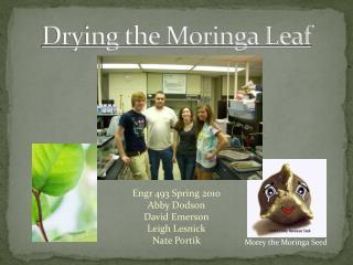 Drying the Moringa Leaf