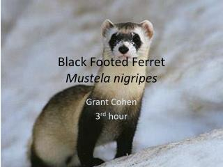 Black Footed Ferret Mustela nigripes