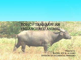 TOPIC:   TAMARAW: AN ENDANGERED ANIMAL