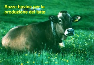 Razze bovine per la produzione del latte