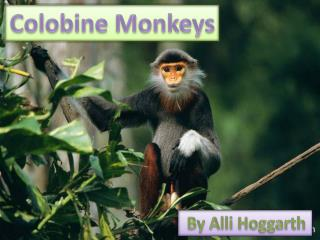 Colobine Monkeys