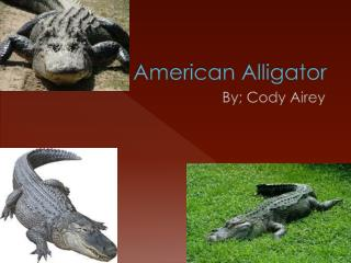 The American Alligator