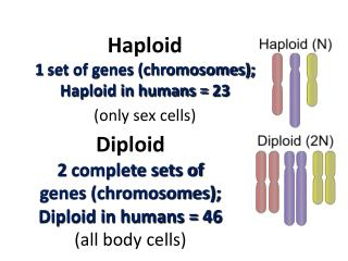 Diploid 2 complete sets of genes (chromosomes);  Diploid in humans = 46 (all body cells)
