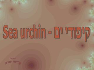 - Sea urchin