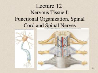 Nervous Tissue I: Functional Organization, Spinal Cord and Spinal Nerves