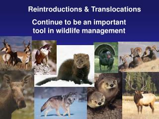 Reintroductions & Translocations