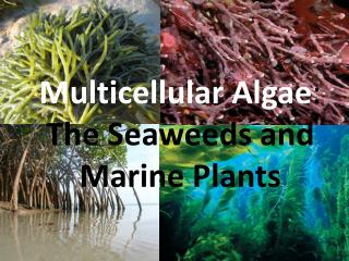 Multicellular Algae :  The Seaweeds and  Marine Plants