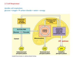 3.7:Cell Respiration Aerobic cell respiration: glucose + oxygen   carbon dioxide + water + energy