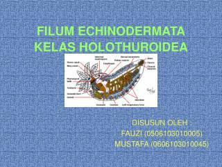 FILUM ECHINODERMATA KELAS HOLOTHUROIDEA