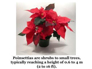 Poinsettia Christmas tree in San Diego, California
