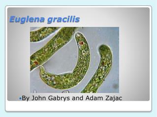 Euglena  gracilis
