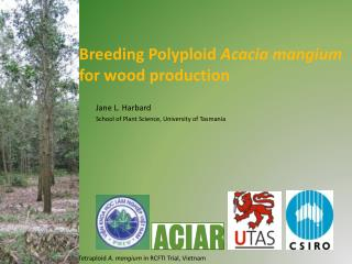 Breeding Polyploid  Acacia mangium  for wood production