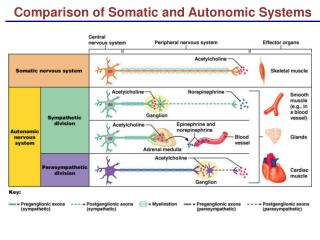 Comparison of Somatic and Autonomic Systems