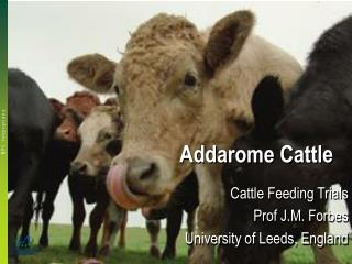 Addarome Cattle