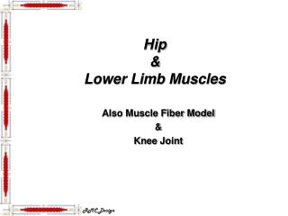Hip  &  Lower Limb Muscles