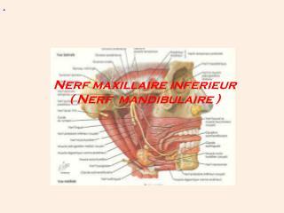 Nerf maxillaire inferieur ( Nerf  mandibulaire )