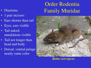 Order Rodentia Family Muridae