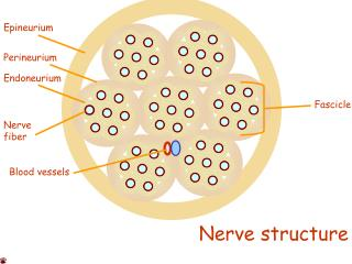 Nerve fiber