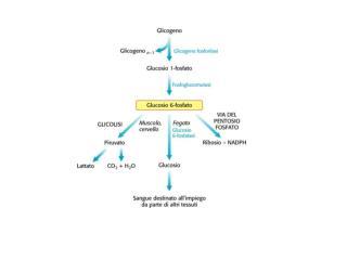 Glicogeno   Il glicogeno è il  polisaccaride di riserva  delle cellule animali (fegato e muscolo!)