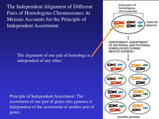 The alignment of one pair of homologs is independent of any other.