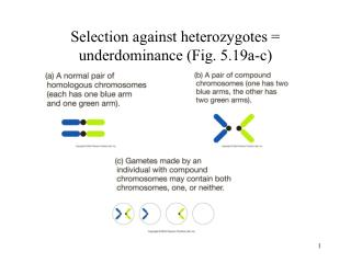 Selection against heterozygotes  underdominance Fig. 5.19a-c