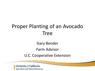 Proper Planting of an Avocado Tree