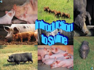 Introduction  to Swine
