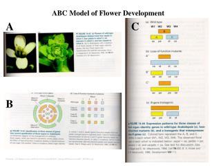 ABC Model of Flower Development
