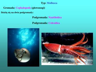 Typ:  Mollusca