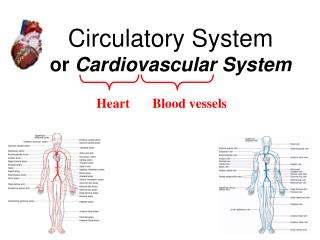 Circulatory System or  Cardiovascular System