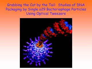 Grabbing the Cat by the Tail:  Studies of DNA Packaging by Single f29 Bacteriophage Particles Using Optical Tweezers