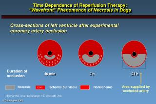 """Time Dependence of Reperfusion Therapy: """"Wavefront"""" Phenomenon of Necrosis in Dogs"""